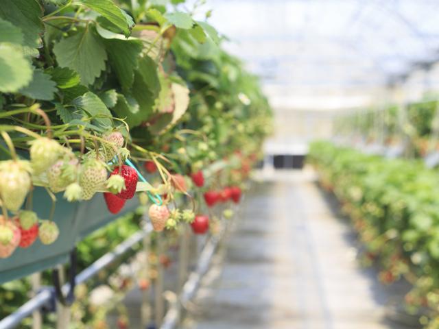 イチゴとメロンの輪作土壌の微生物相の変化